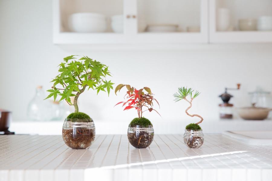 ce bonsa est n de la culture hydroponique qusaco cest une mthode de culture des plantes qui utilisent des solutions nutritives minrales
